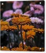 Gerbera Daisy Garden Acrylic Print