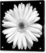 Single Gerbera Daisy Acrylic Print