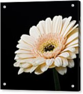 Gerbera Daisy On Black II Acrylic Print