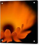 Gerbera Fire Acrylic Print