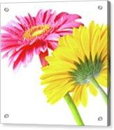 Gerbera Flowers Acrylic Print by Carlos Caetano