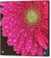 Gerbera Fresh Acrylic Print