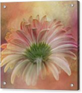 Gerbera From The Back Acrylic Print