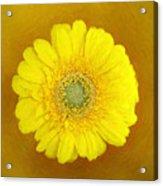 Gerbera - Id 16235-220247-8361 Acrylic Print