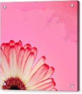 Gerbera Pink Acrylic Print