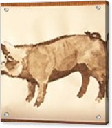 German Pietrain Boar 31 Acrylic Print