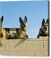 German Shephard Military Working Dogs Acrylic Print