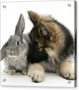German Shepherd And Rabbit Acrylic Print by Mark Taylor