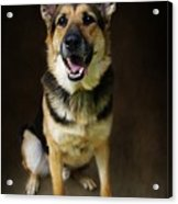German Shepherd Dog Thor Acrylic Print