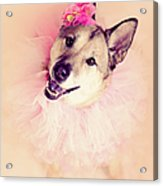 German Shepherd Mix Dog Dressed As Ballerina Acrylic Print by R. Nelson