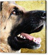 German Shepherd Portrait Acrylic Print