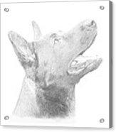 German Shepherd Profile Acrylic Print