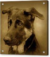 German Shepherd Pup Acrylic Print by Sandy Keeton