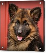 German Shepherd Puppy - Queena Acrylic Print