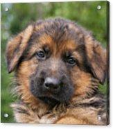 German Shepherd Puppy II Acrylic Print