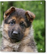 German Shepherd Puppy IIi Acrylic Print by Sandy Keeton