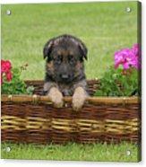 German Shepherd Puppy In Basket Acrylic Print by Sandy Keeton