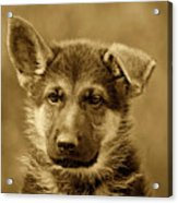 German Shepherd Puppy In Sepia Acrylic Print