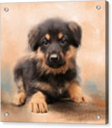 German Shepherd Puppy Portrait Acrylic Print