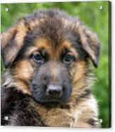 German Shepherd Puppy Acrylic Print