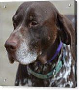 German Shorthaired Pointer Dog Acrylic Print