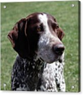 German Shorthaired Pointer  Acrylic Print