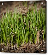 Germination Acrylic Print