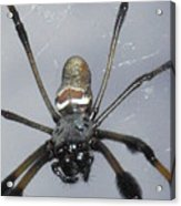 Getting To Know A Golden Orb Weaver Acrylic Print