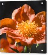 Geum Scarlet Avens Acrylic Print