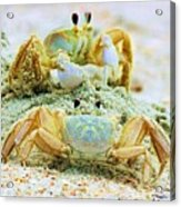 Ghost Crabs Acrylic Print