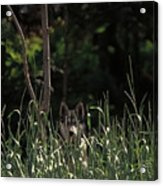 Ghost Wolf Acrylic Print by DigiArt Diaries by Vicky B Fuller