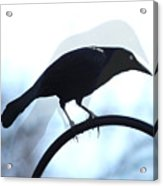Ghosted Grackle Acrylic Print