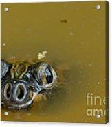 Giant Amazonian River Turtle Acrylic Print