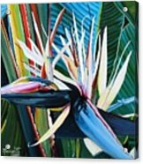 Giant Bird Of Paradise Acrylic Print