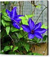 Giant Blue Clematis Acrylic Print