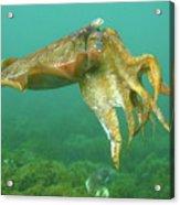 Giant Cuttlefish Acrylic Print