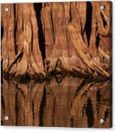 Giant Cypress Tree Trunk And Reflection Acrylic Print