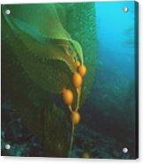 Giant Kelp Acrylic Print