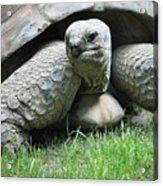 Giant Land Turtle Acrylic Print