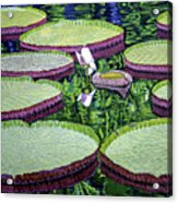 Giant Lily Acrylic Print