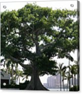 Giant Morton Fig Tree Acrylic Print