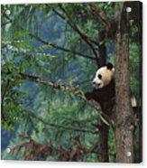 Giant Panda Ailuropoda Melanoleuca Acrylic Print