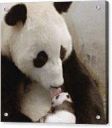 Giant Panda Ailuropoda Melanoleuca Xi Acrylic Print by Katherine Feng