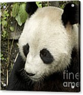 Giant Panda At Rest Acrylic Print