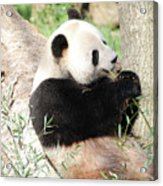 Giant Panda Bear Leaning Against A Tree Trunk Eating Bamboo Acrylic Print