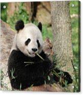 Giant Panda Bear Lounging On Against Tree Trunk Acrylic Print