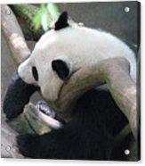 Giant Panda Bear Resting On A Fallen Tree Acrylic Print