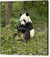 Giant Panda Eating Bamboo Acrylic Print