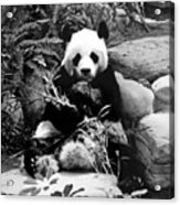 Giant Panda In Black And White Acrylic Print