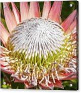 Giant Pink King Protea Flower Acrylic Print